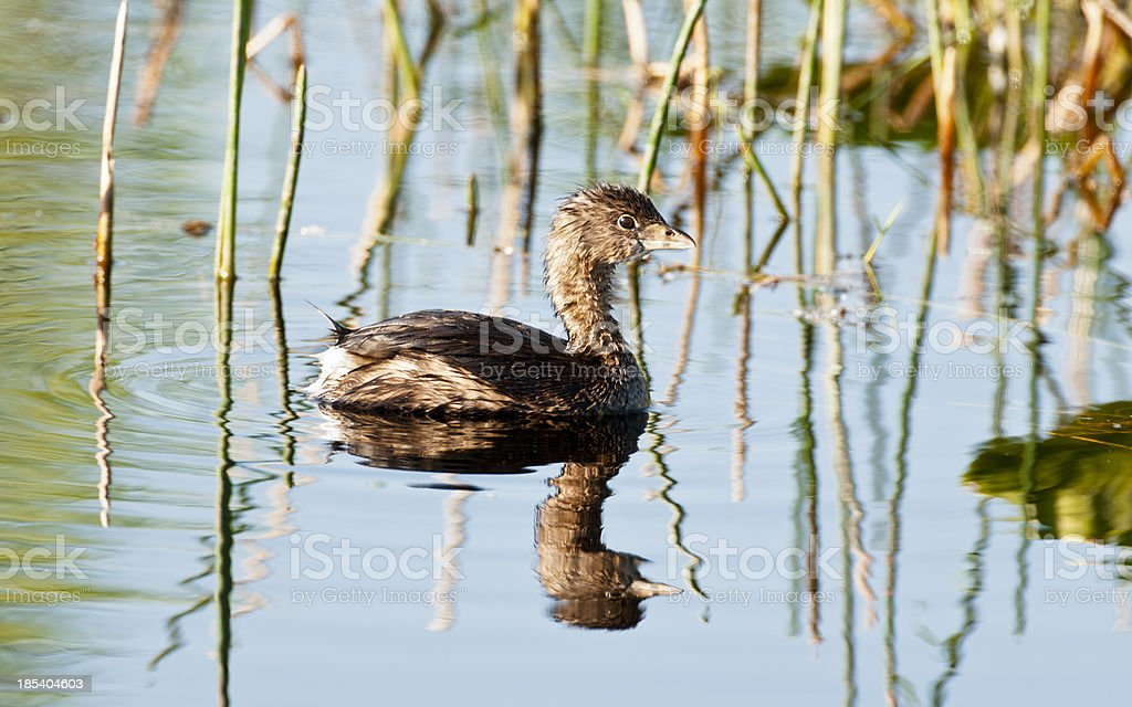 Pied-billed Grebe with reflection in water stock photo
