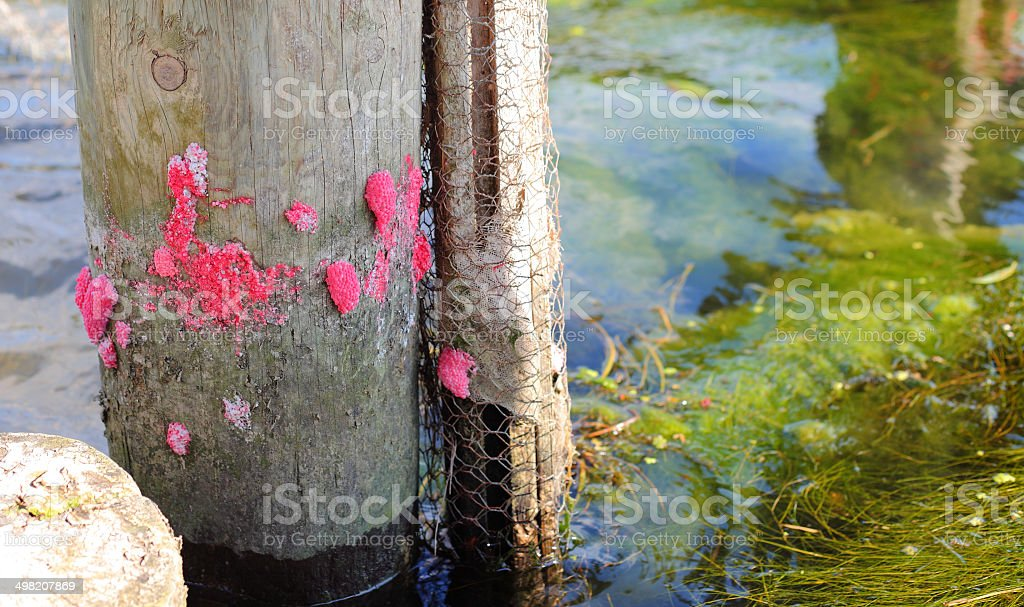 Pier post with apple snail eggs stock photo