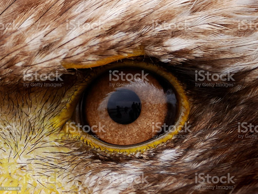 Piercing close-up view of brown American eagle eye stock photo