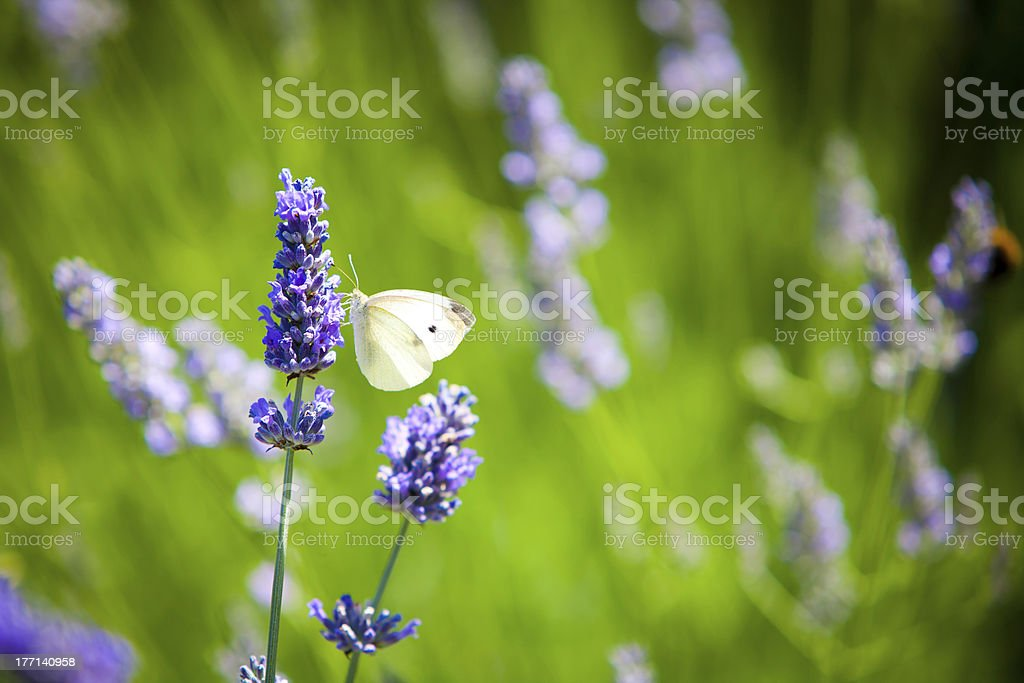 Pieris Brassicae Butterfly on Lavender royalty-free stock photo