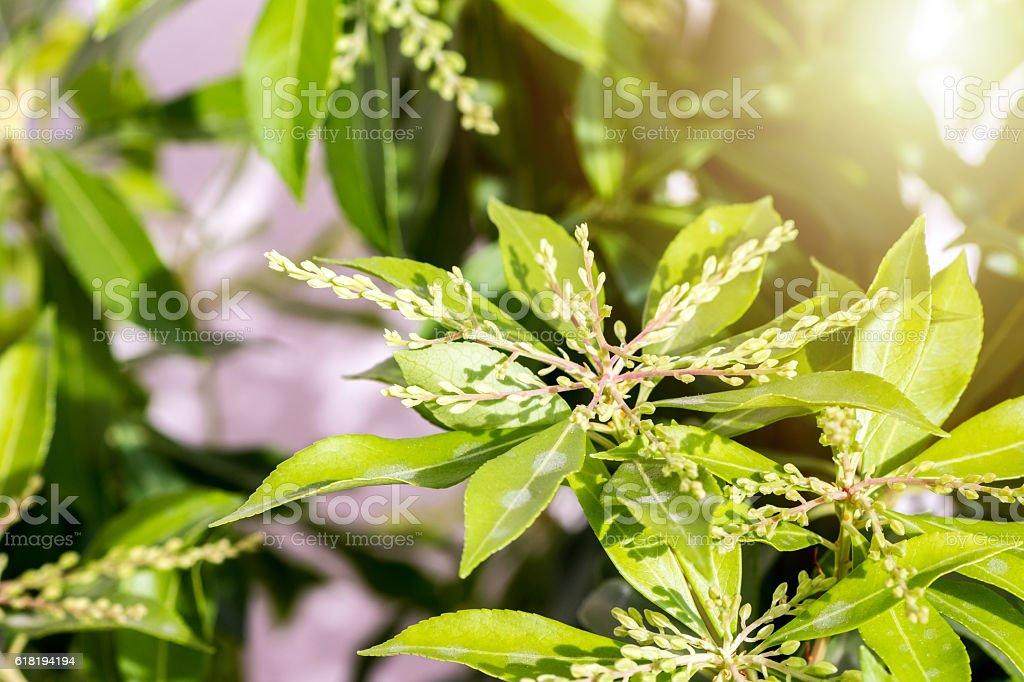Pieris Japonica fresh plant closed bud flower close-up stock photo