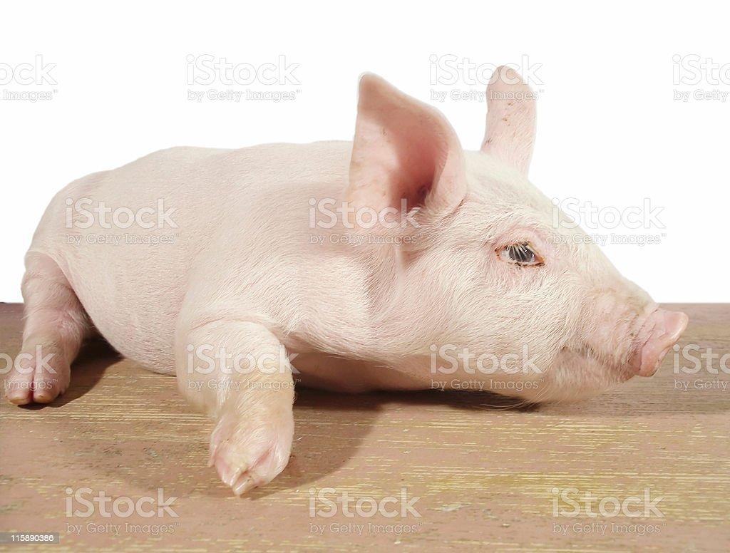 Pig 02 royalty-free stock photo