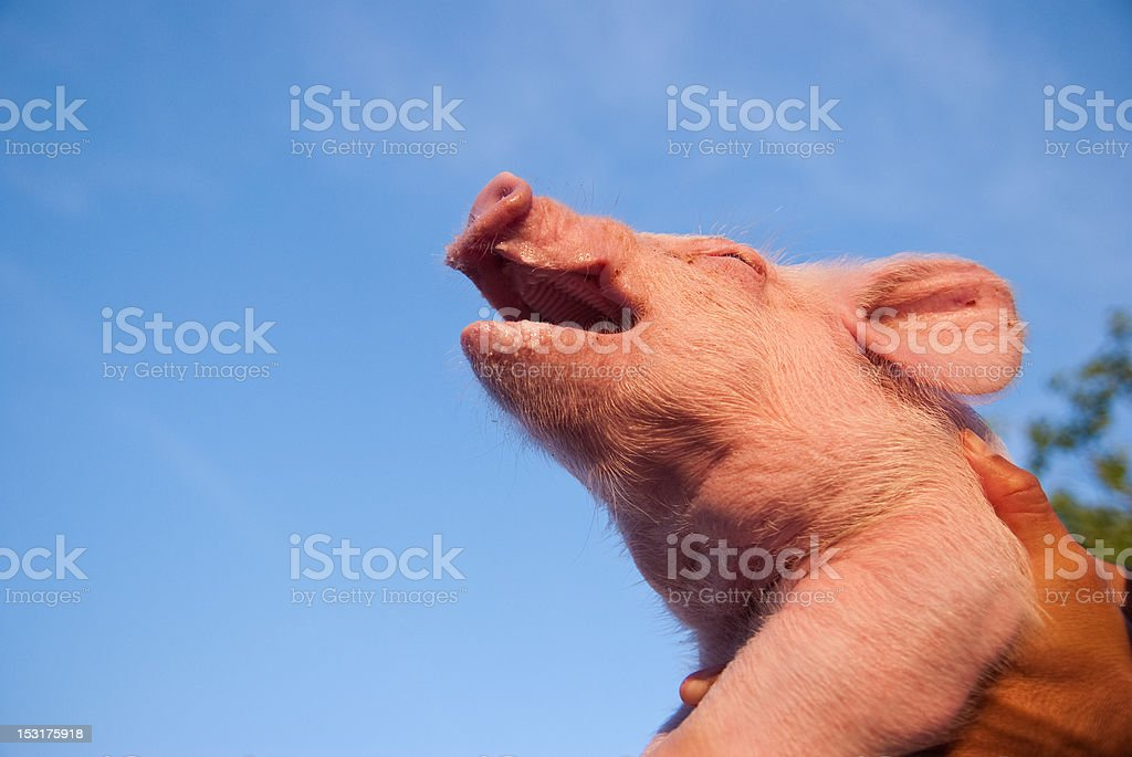 pig against blue sky stock photo