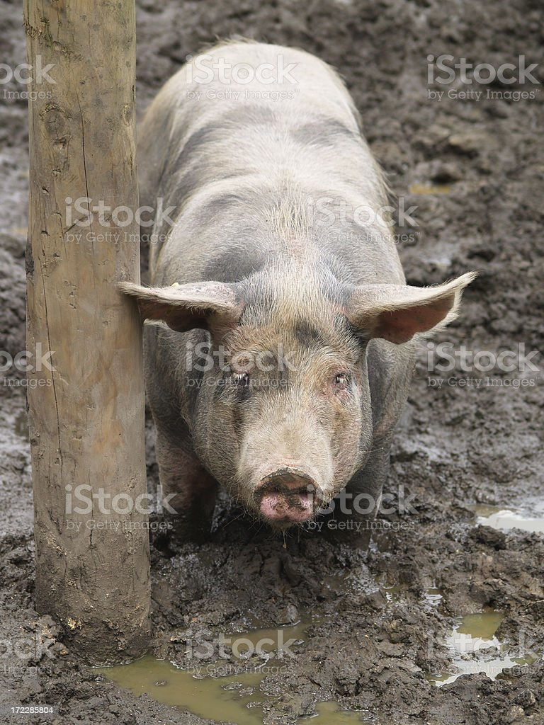 Pig and a post royalty-free stock photo