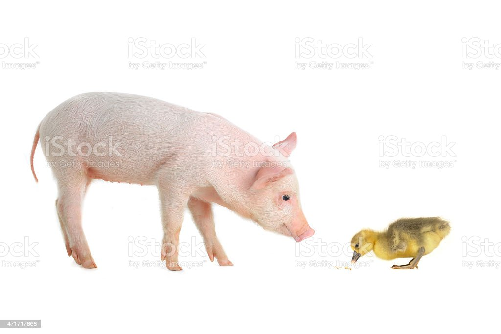pig and goose stock photo