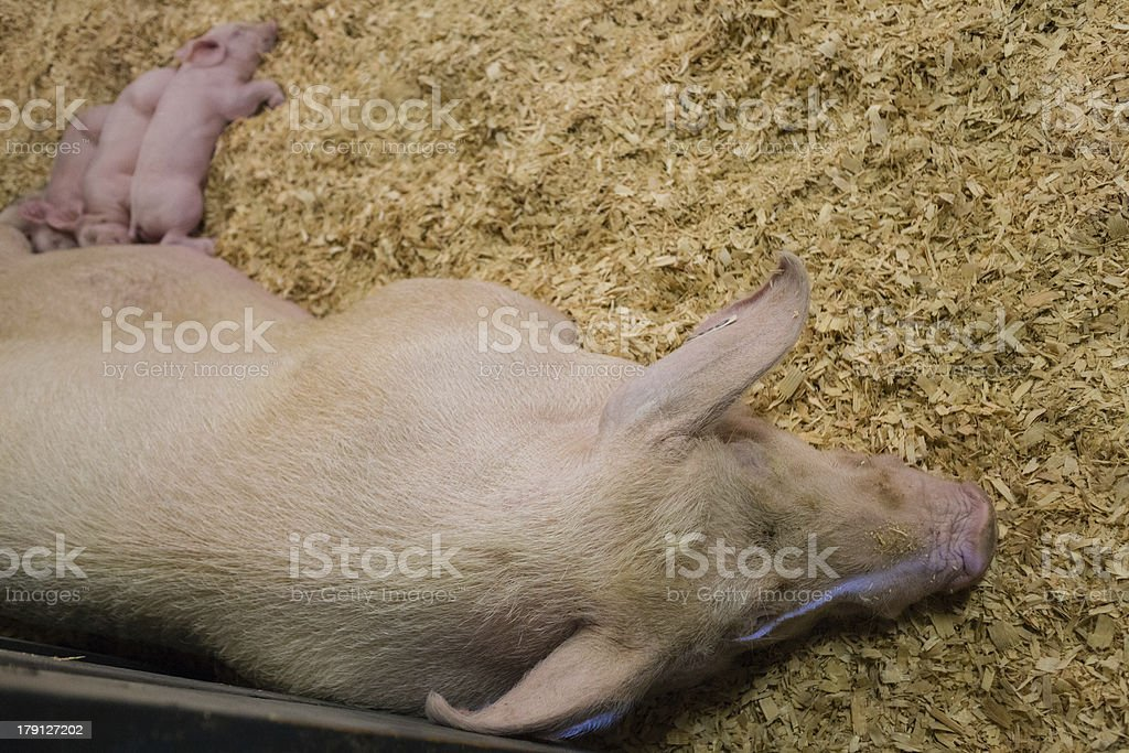pig and piglets in enclosure stock photo