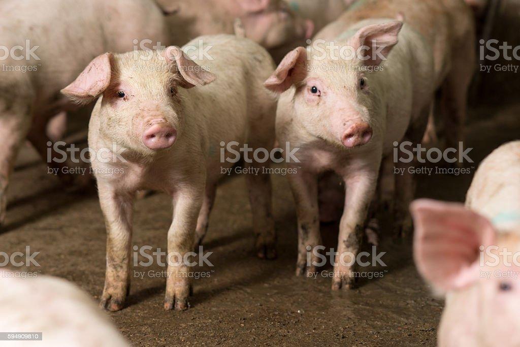 pig at factory stock photo