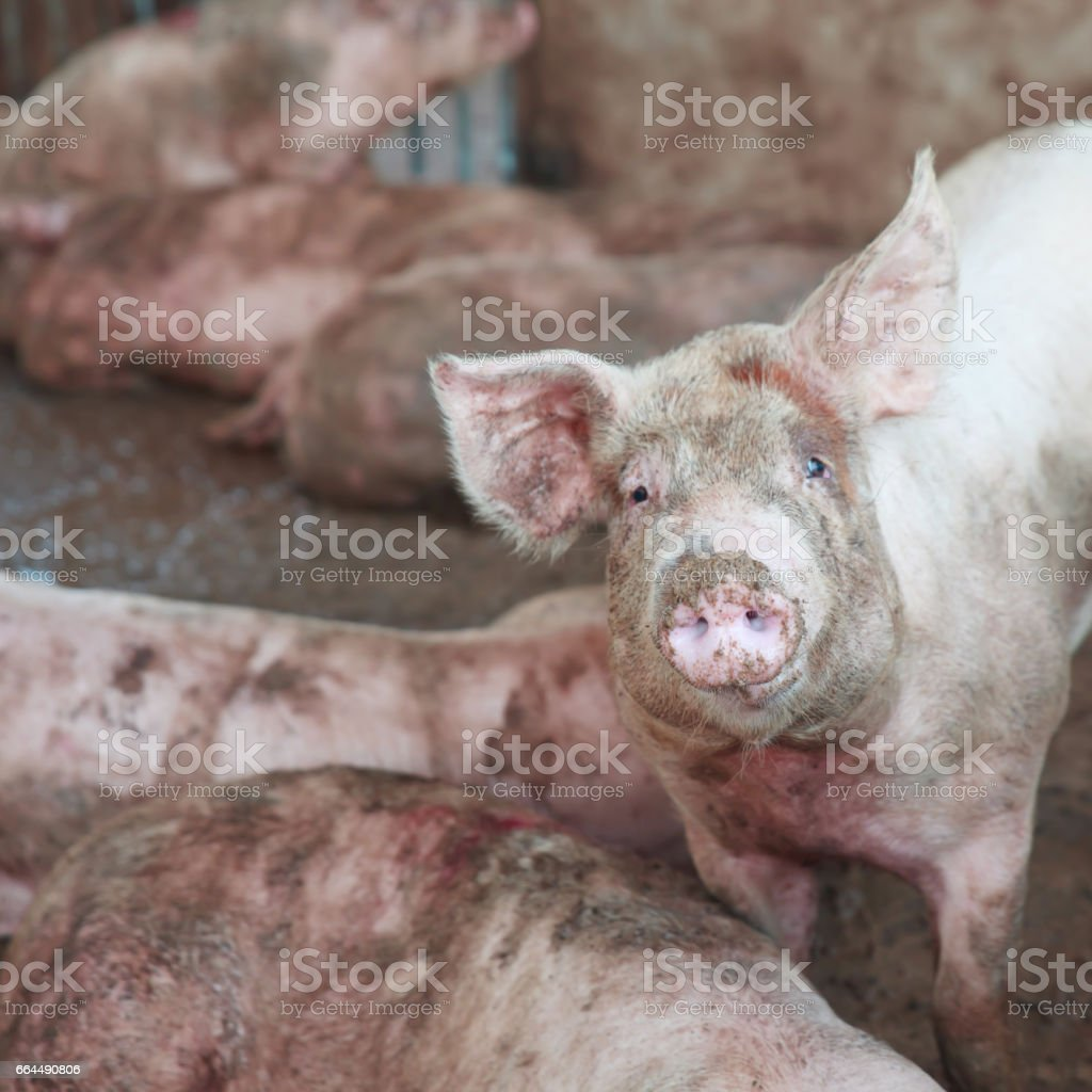 Pig at pig breeding farm stock photo