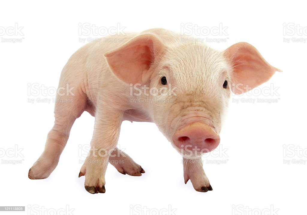 Pig baby piglet royalty-free stock photo