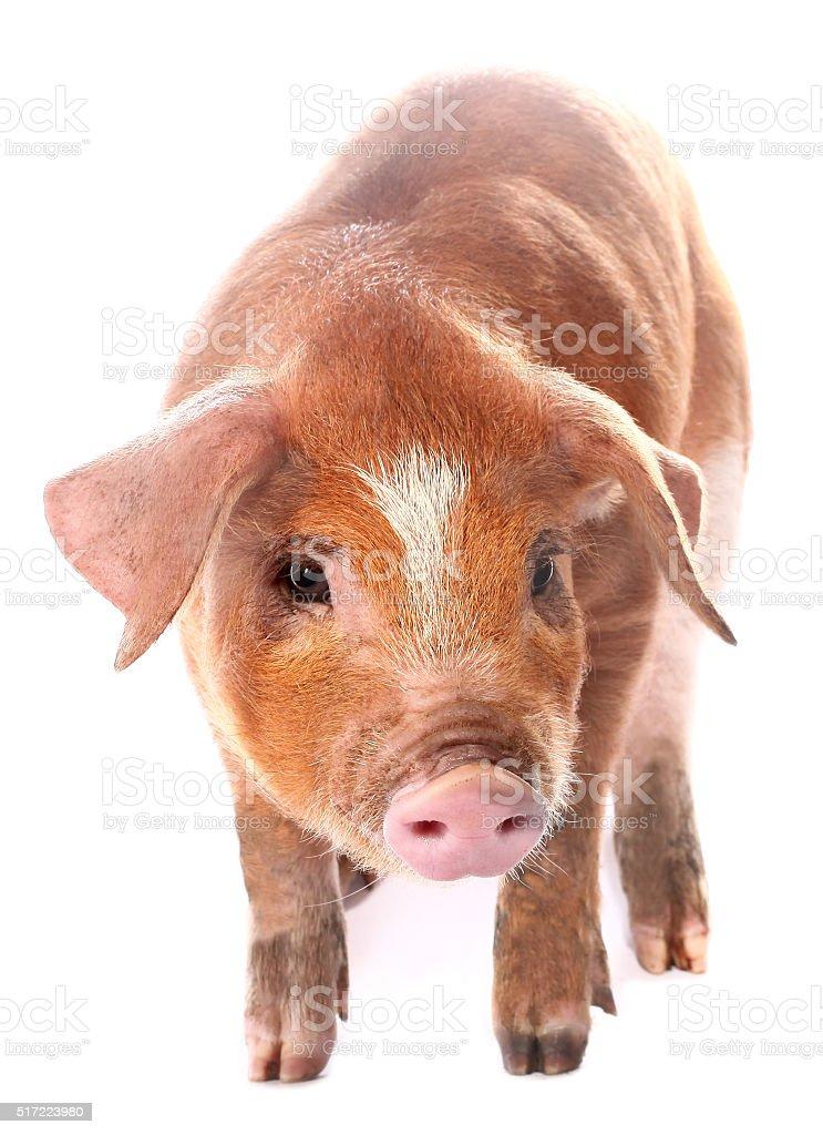 Pig baby piglet stock photo