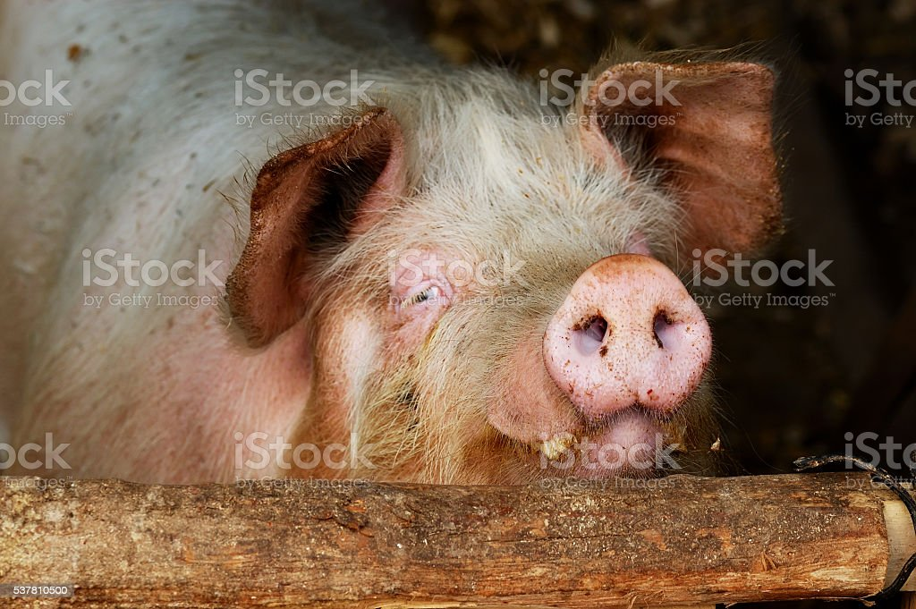 pig behind the bar stock photo