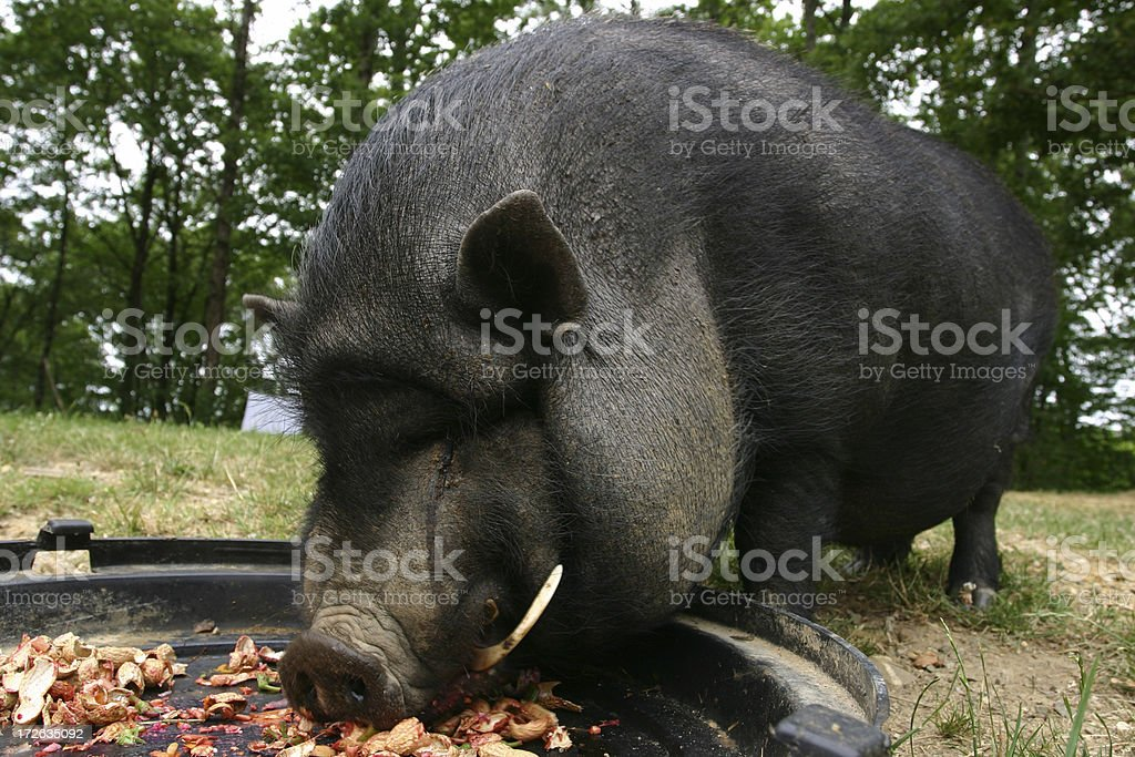 pig busy eating and happy royalty-free stock photo