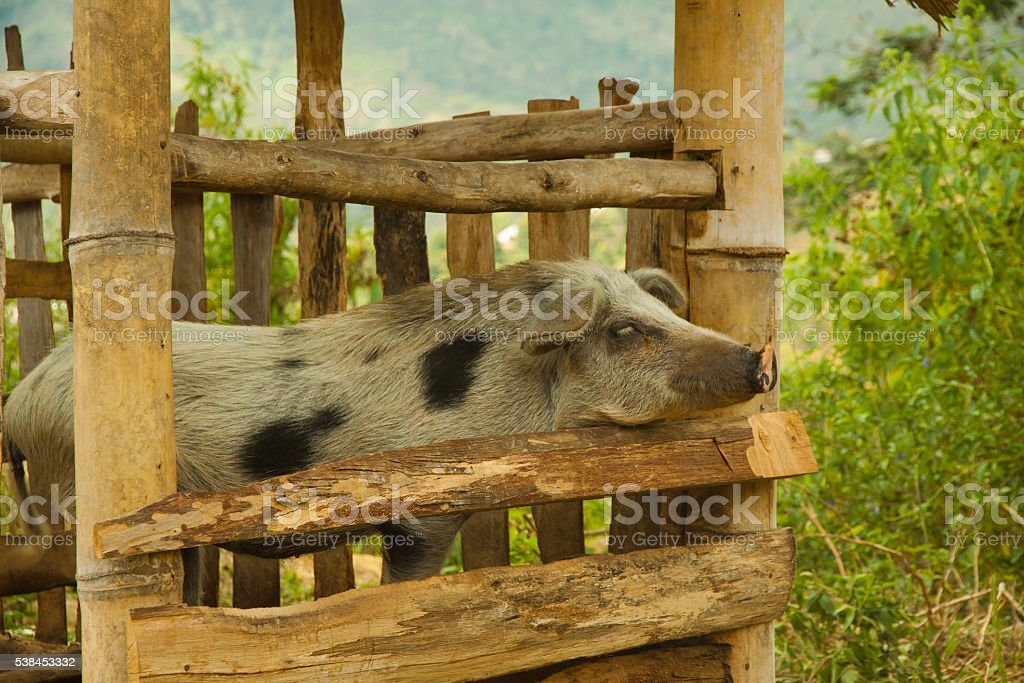 pig cattle breed in traditional local style farm with bamboo stock photo