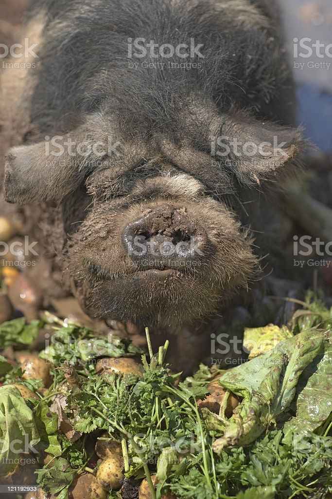 Pig close-up stock photo
