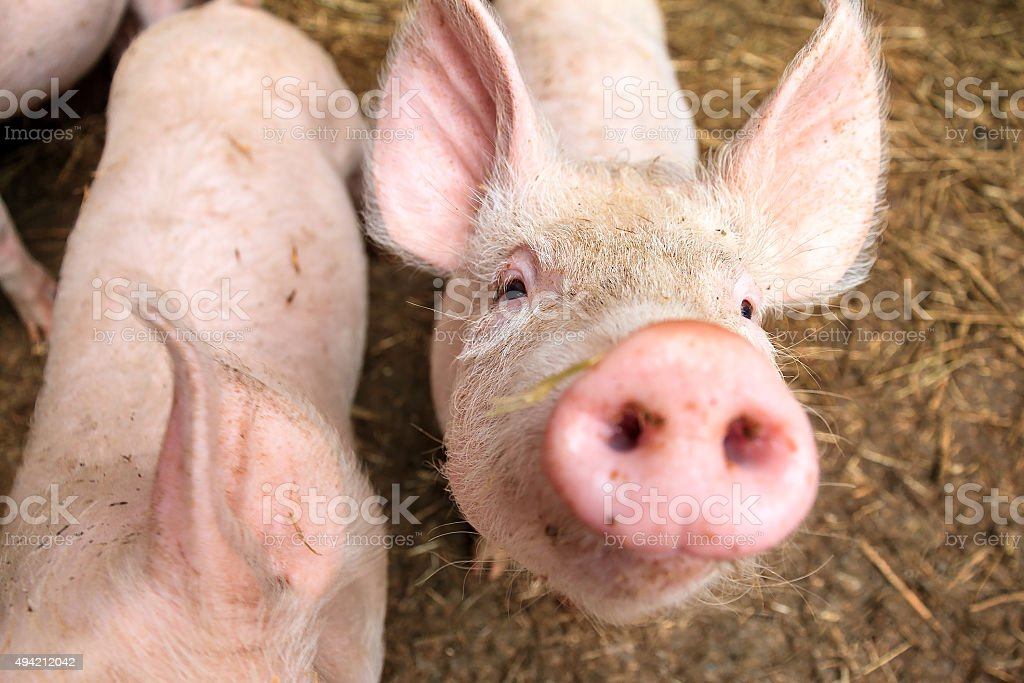 Pig curiosity stock photo