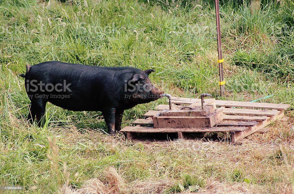 Pig Drinking From Tap stock photo