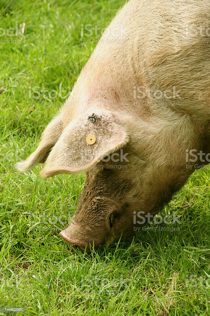 Pig Eating stock photo