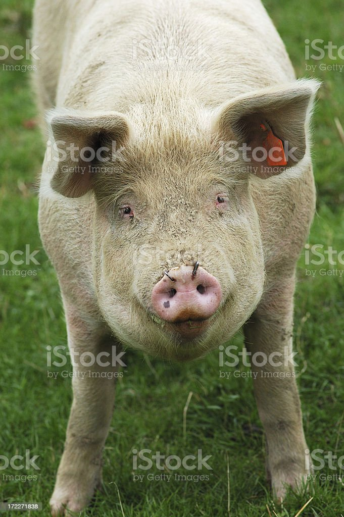 pig face up royalty-free stock photo