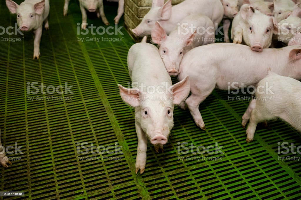Pig farm. Little piglets stock photo