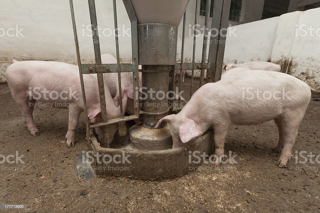 Pig farm stock photo