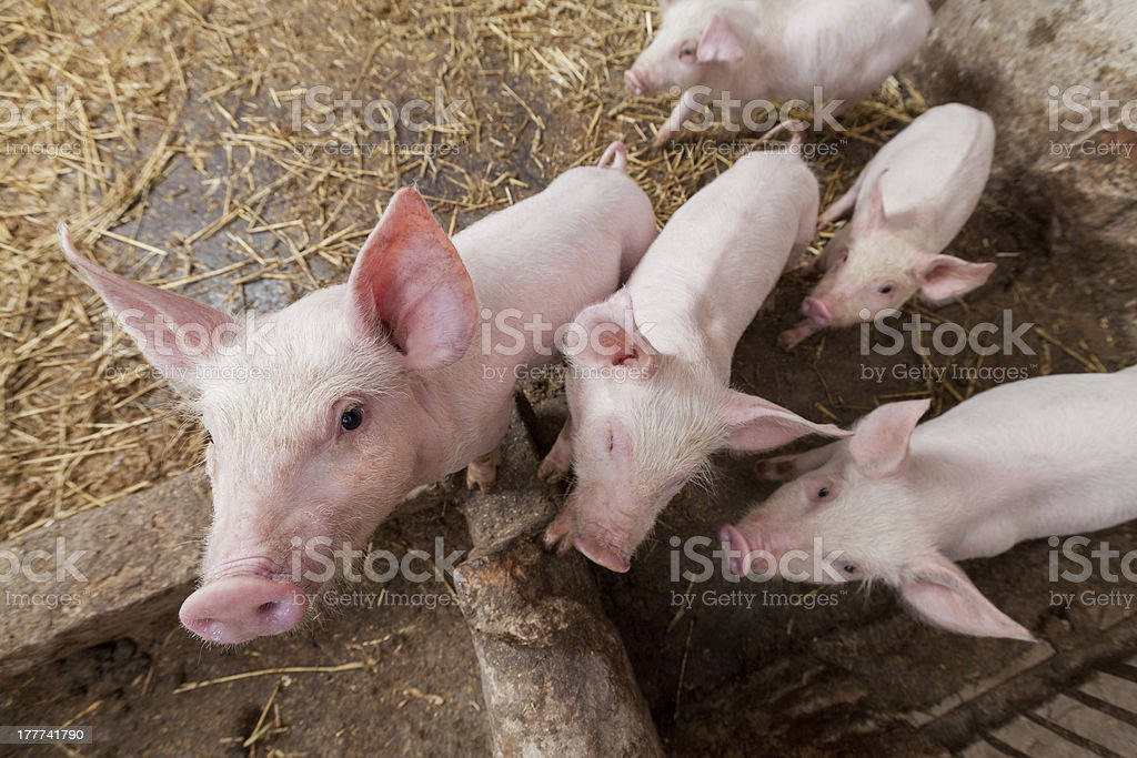 Pig farm royalty-free stock photo