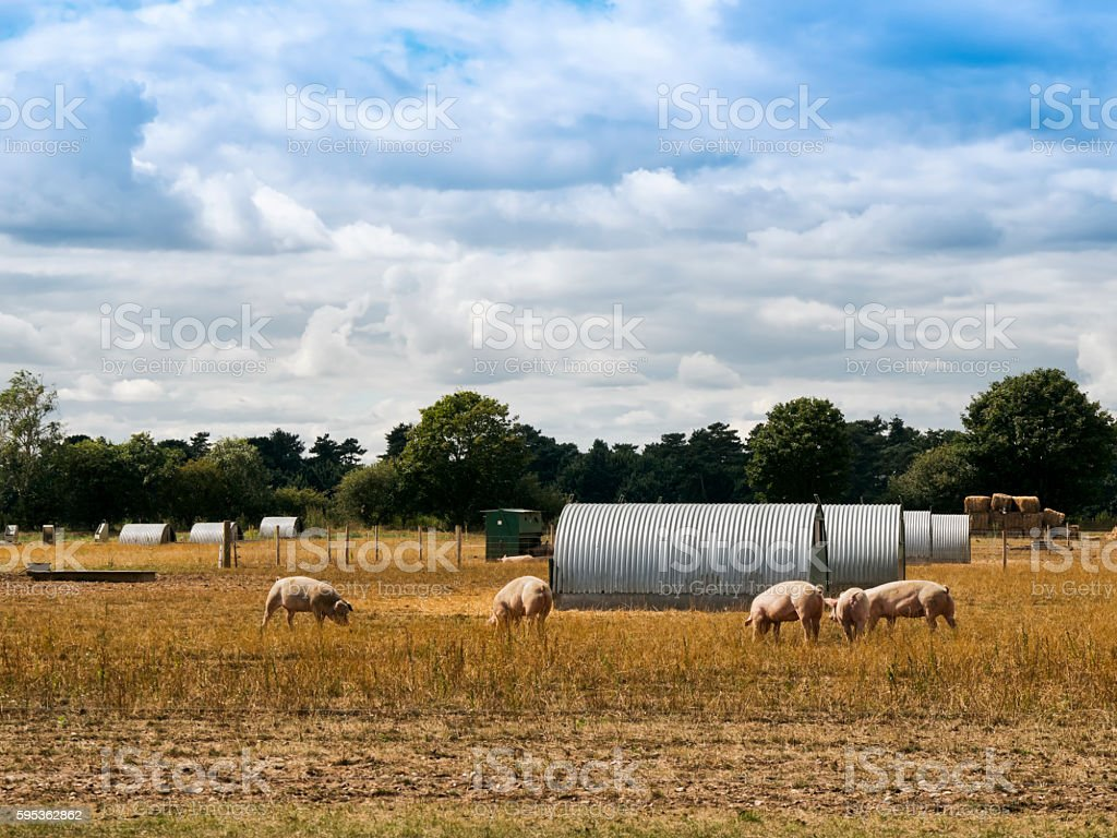 Pig farm with corrugated metal sheds stock photo