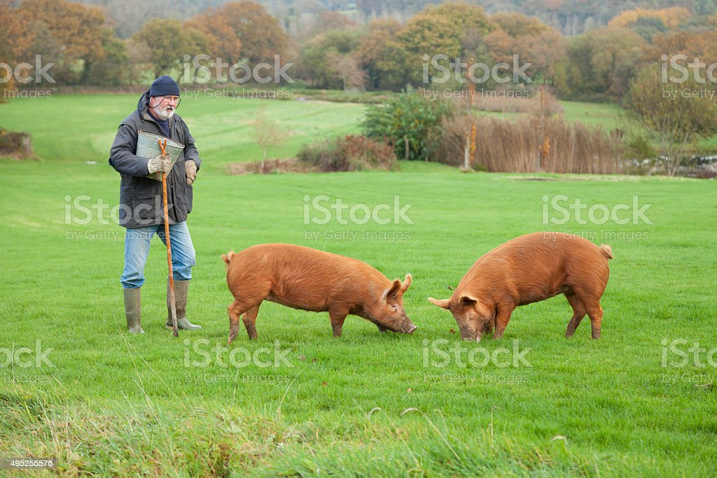 Pig Farmer With His Tamworth Sows stock photo