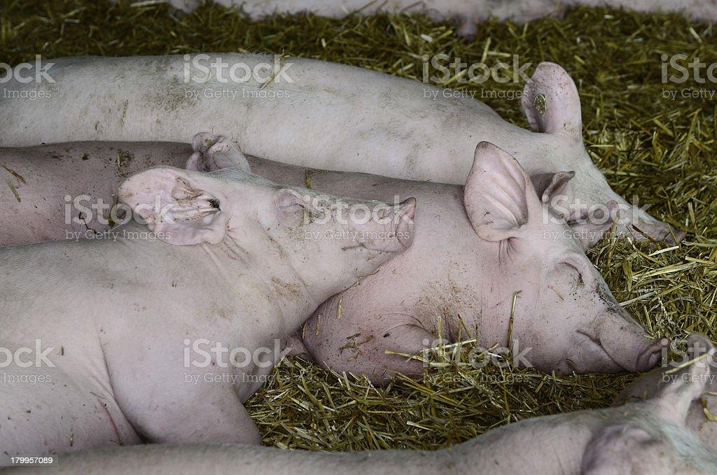 pig farming royalty-free stock photo