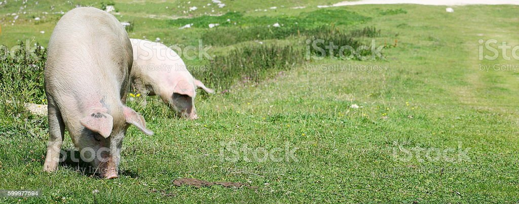 Pig grazing in mountain meadows stock photo
