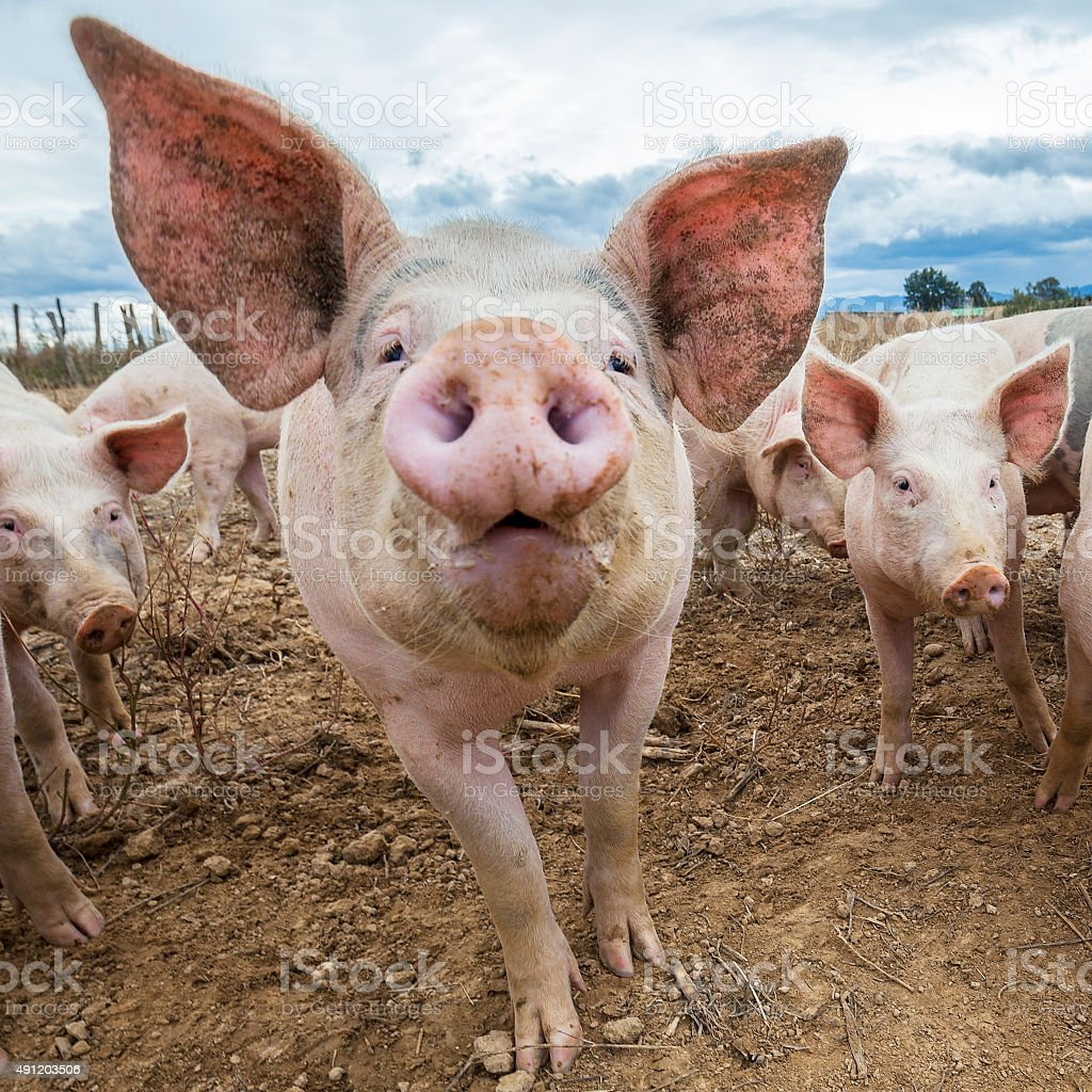 Pig head stock photo