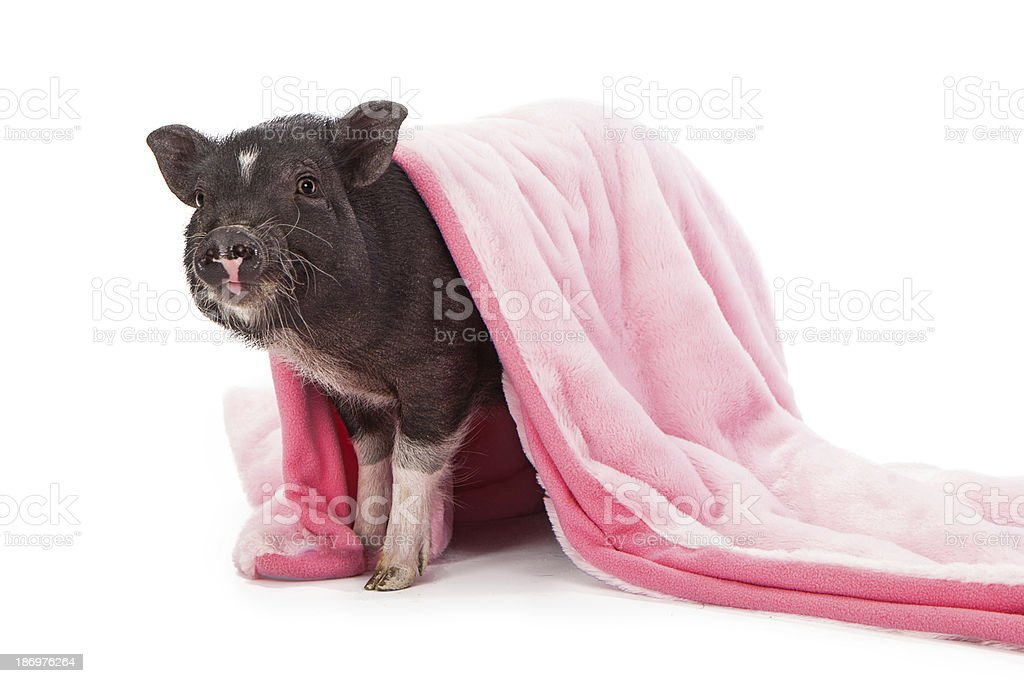 Pig in a Blanket stock photo