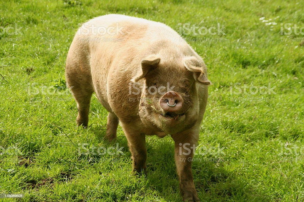 Pig in a Field stock photo