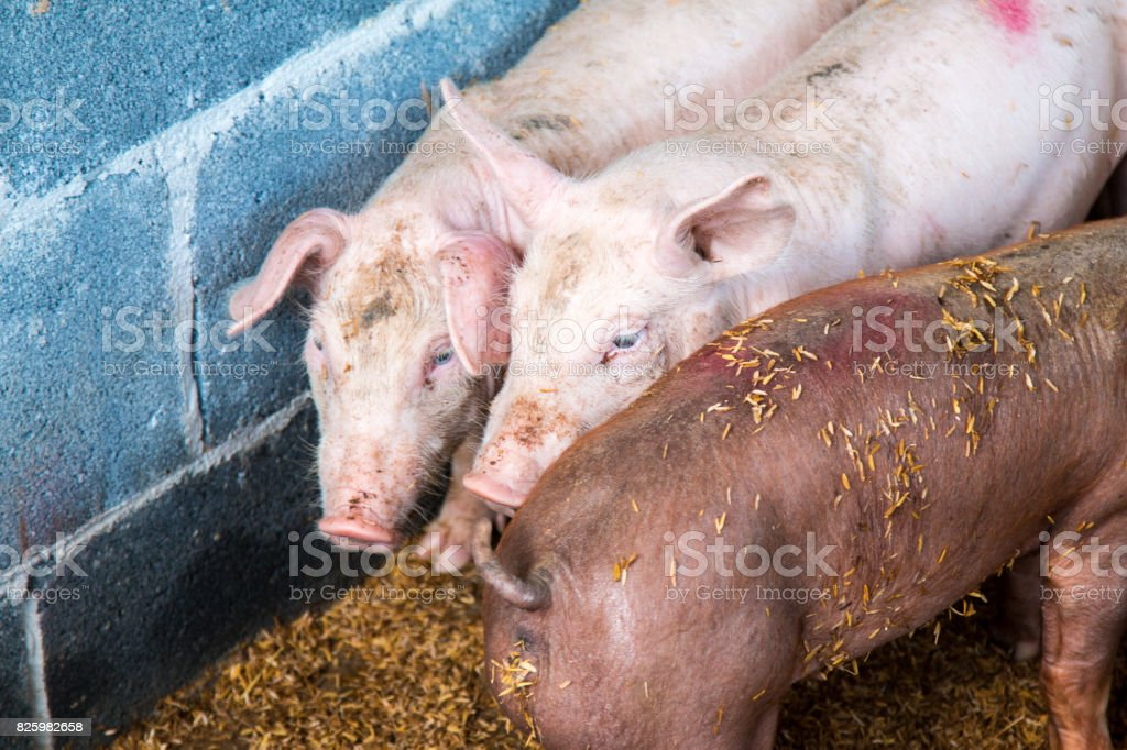 Pig in a  stable at a farm stock photo