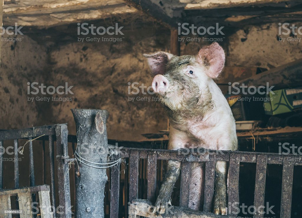 Pig in an old rustic barn stock photo