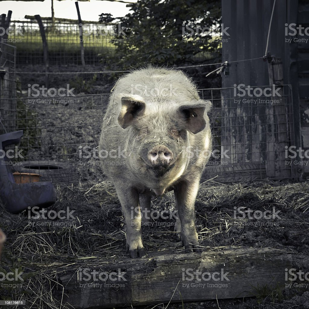 Pig in Animal Pen