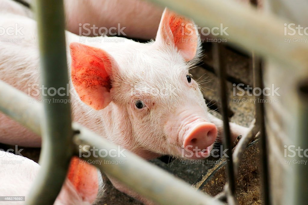 pig in corral stock photo
