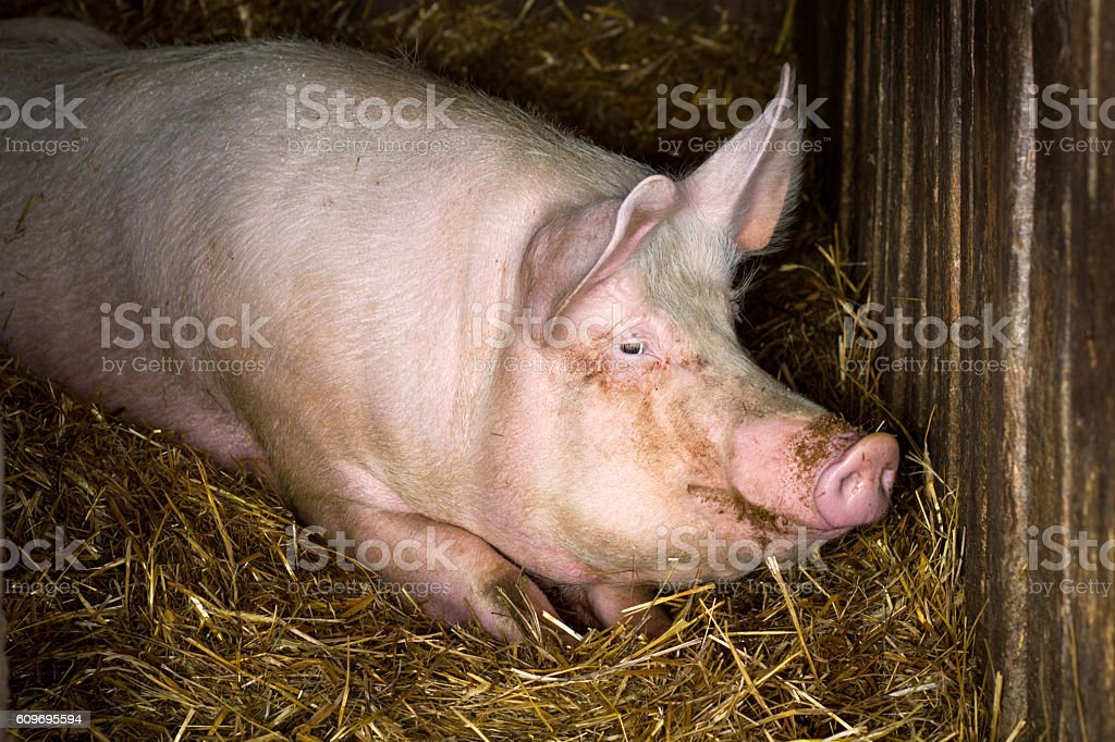 pig in farm stock photo