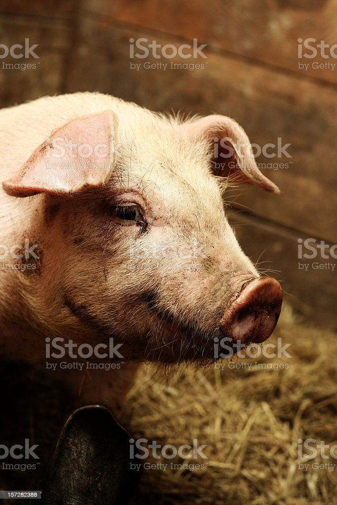 Pig in its Stall with Hay royalty-free stock photo