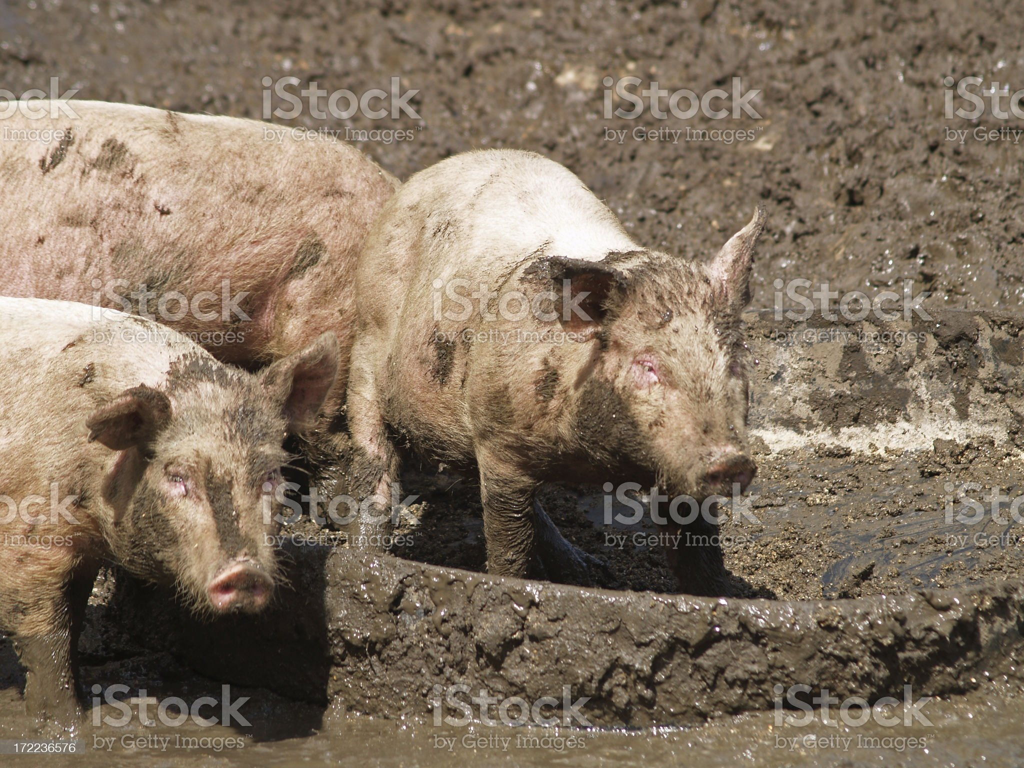Pig in muck 2 royalty-free stock photo