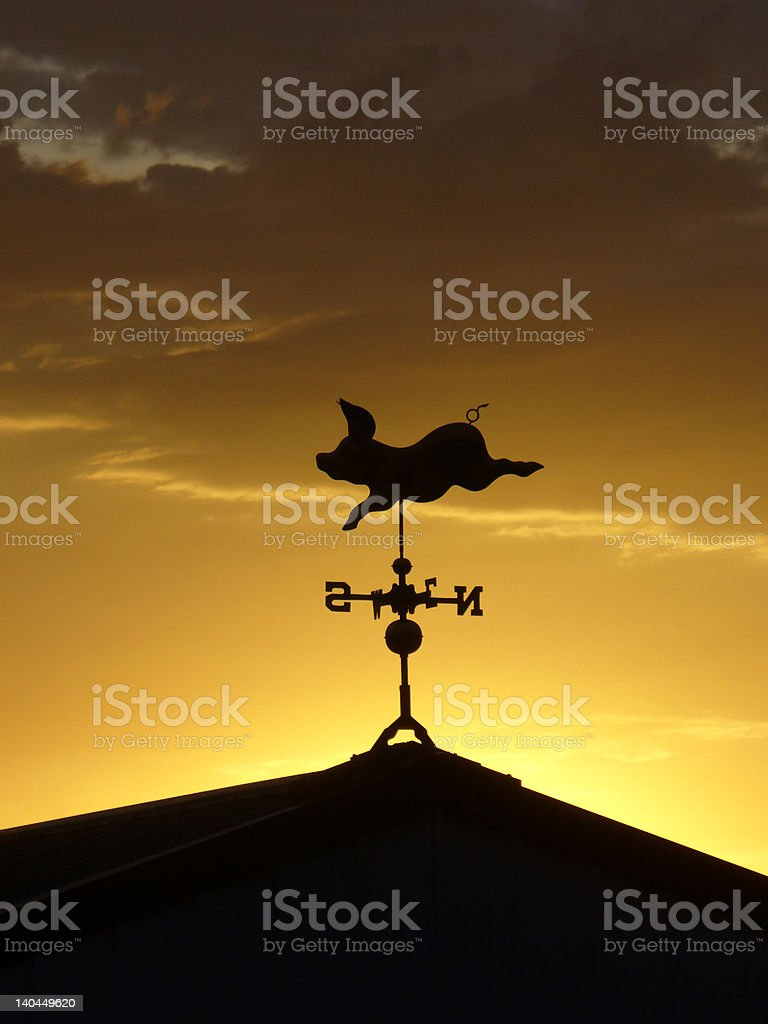 Pig in the sunset. stock photo
