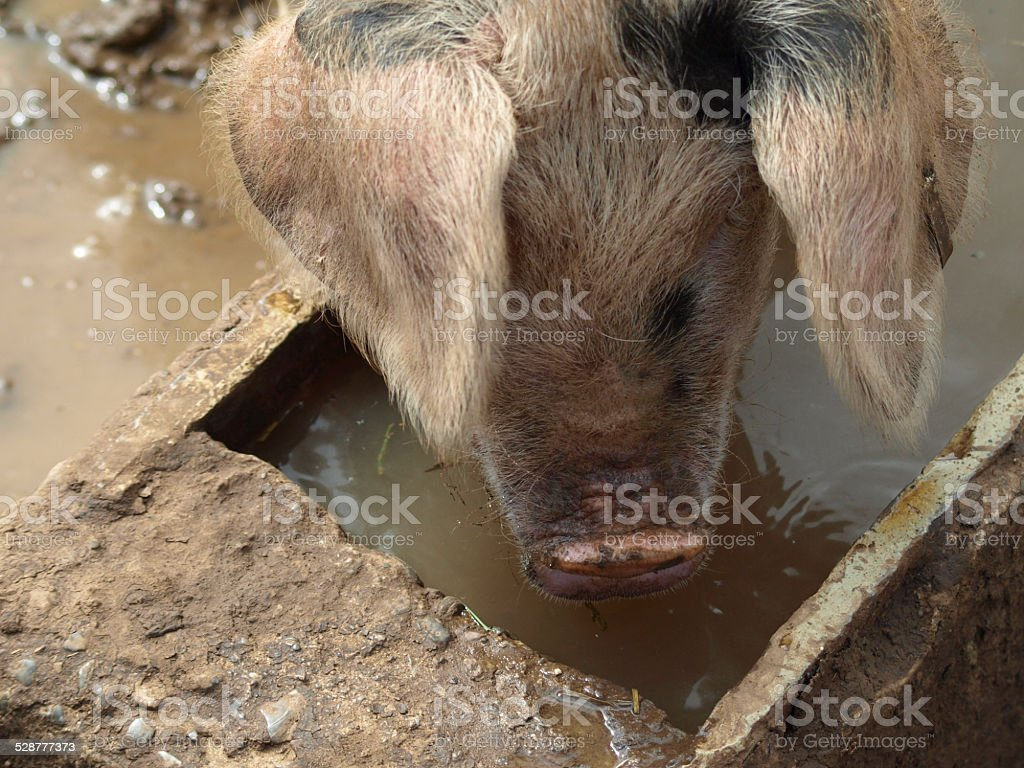 Pig in trough stock photo