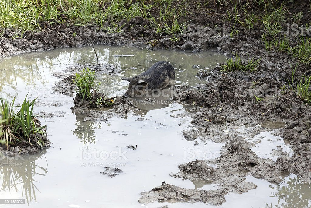 pig in wallow stock photo