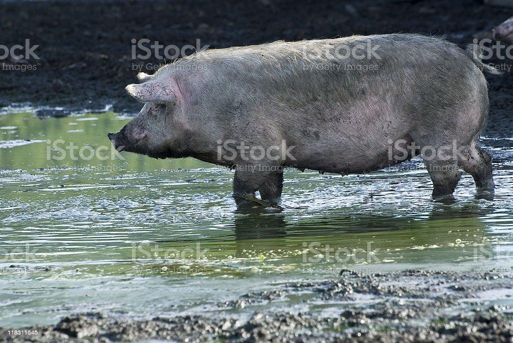 pig influenza royalty-free stock photo