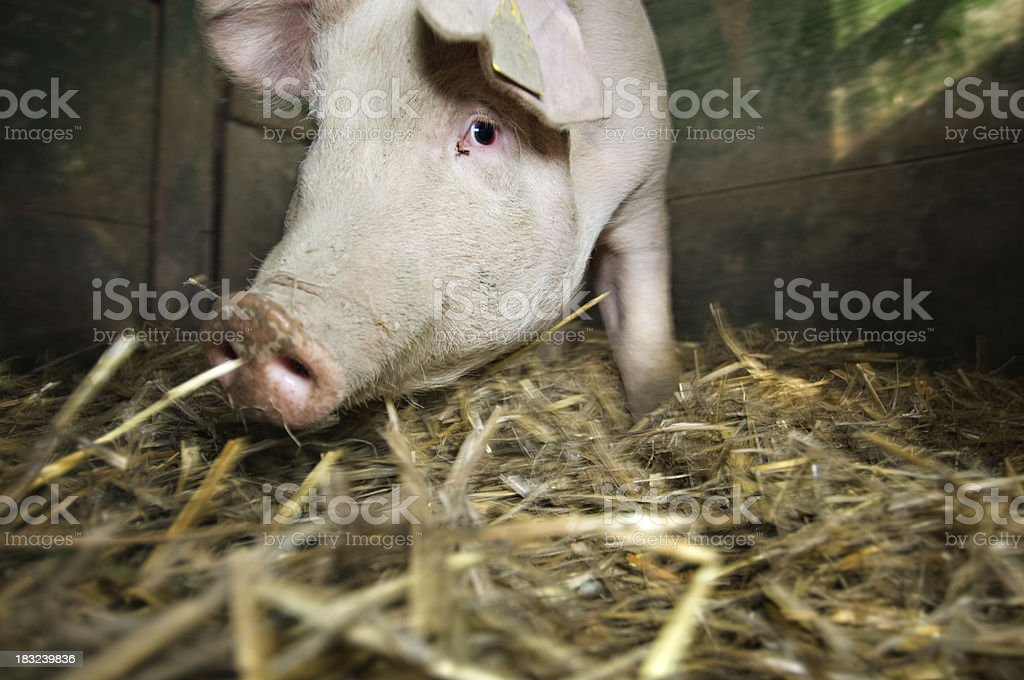 Pig Inside His  Pigsty stock photo