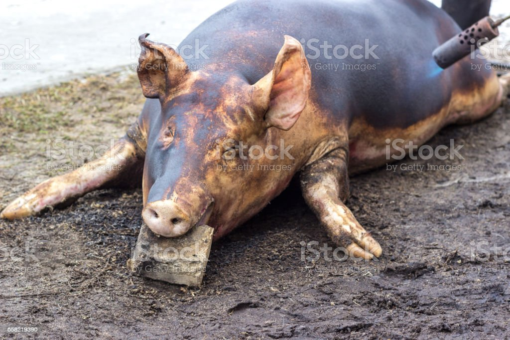 Pig killing. Slaughter fiering the skin of the pig to remove the hair stock photo
