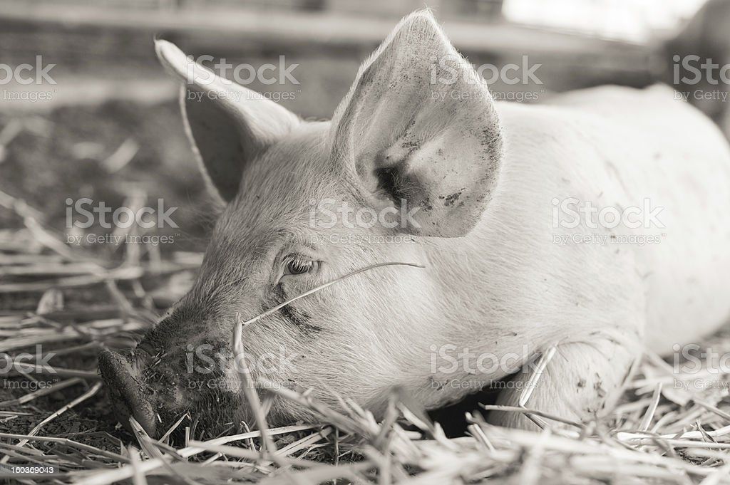 Pig Laying in the Straw b&w royalty-free stock photo