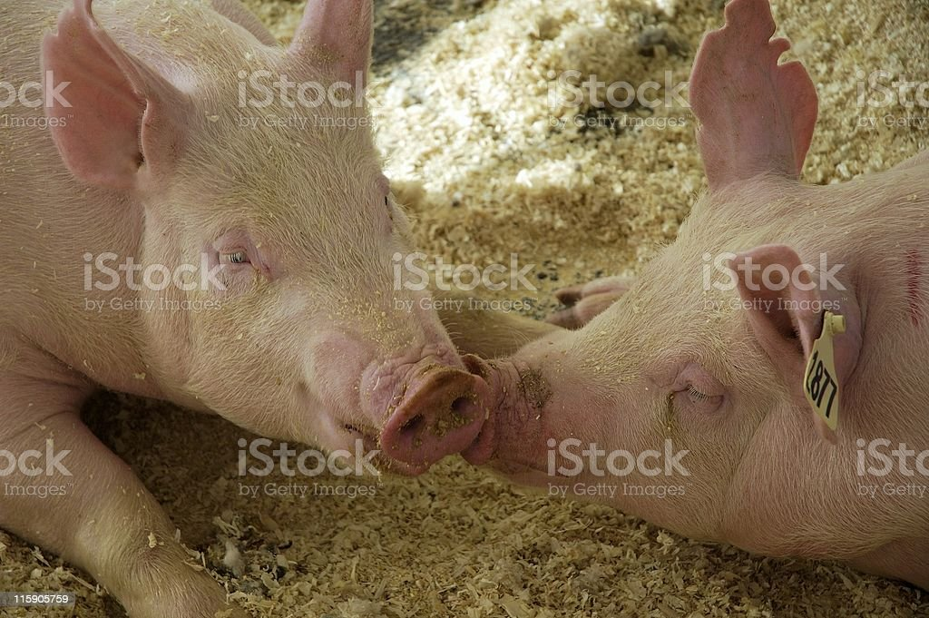 Pig Love royalty-free stock photo