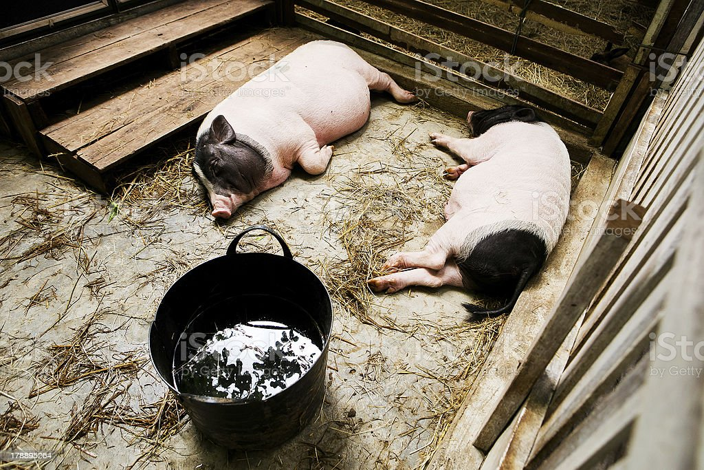2 pig lying in the stall. stock photo