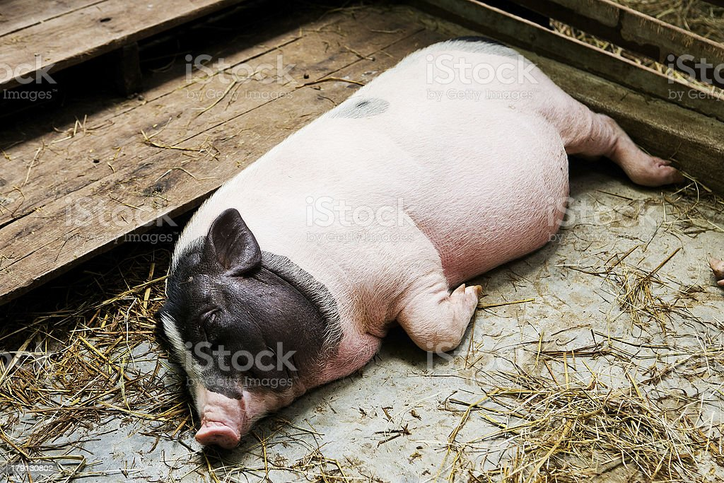 pig lying in the stall. stock photo
