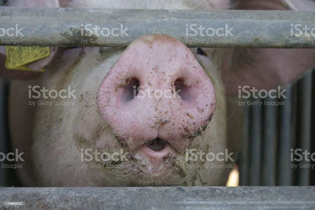 Pig nose royalty-free stock photo